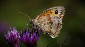 Butterfly Basking in the Sun. A Macro shot of a butterfly making the most of the British sun royalty free stock images