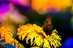 Macro shot of a butterfly sitting on a blossom. In the garden on a sunny summer day on a bright and colorful background Royalty Free Stock Photos