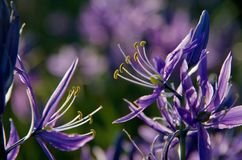 Macro shot of camas lily blossoms showing yellow pollen on the anthers Royalty Free Stock Photos