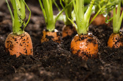 Macro shot of Carrots in dirt. Macro shot of some Carrots in the dirt Stock Images