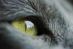 Macro shot of cat eye. Grey russian fur green blue royalty free stock photography