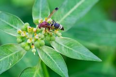 Ceriana wasp or Wasp-mimic royalty free stock photo