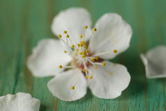 Macro shot of cherry blossoms Royalty Free Stock Photo