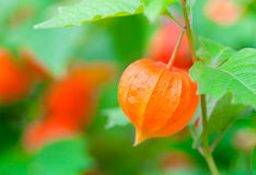 Macro shot of Chinese Lanterns Stock Images