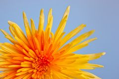 Macro shot of a chrysanthemum Royalty Free Stock Image