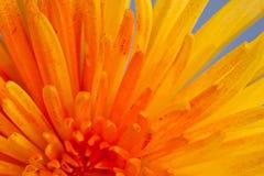 Macro shot of a chrysanthemum Stock Photos