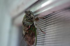 Live Cicada on Screen Door stock image