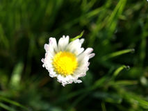 Macro shot from Common daisy flower. In The Netherlands Stock Photo