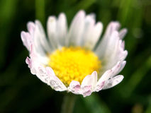 Macro shot from Common daisy flower. In The Netherlands Stock Images