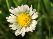 Macro shot from Common daisy flower. In The Netherlands Royalty Free Stock Photography