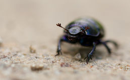 Macro shot of a common dung beetle walking in the sand. Closeup shot of a Black Forest dung beetle walking in the sandy rubble of a hiking trail Stock Photography