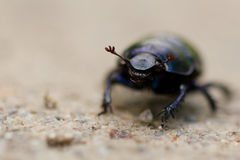 Macro shot of a common dung beetle walking in the sand Royalty Free Stock Photo