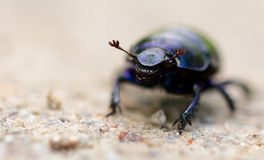 Macro shot of a common dung beetle walking in the sand. Closeup shot of a Black Forest dung beetle walking in the sandy rubble of a hiking trail Royalty Free Stock Photo