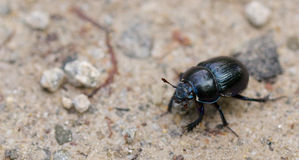 Macro shot of a common dung beetle walking in the sand. Closeup shot of a Black Forest dung beetle walking in the sandy rubble of a hiking trail Royalty Free Stock Images