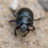 Macro shot of a common dung beetle walking in the sand. Closeup shot of a Black Forest dung beetle walking in the sandy rubble of a hiking trail Royalty Free Stock Image