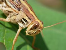 Eastern Lubber Grasshopper up close! royalty free stock image
