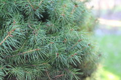 Macro shot of a coniferous tree Royalty Free Stock Images