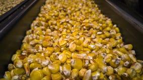 Macro shot of corn royalty free stock images