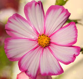 Macro Shot of Cosmos flower. Royalty Free Stock Image