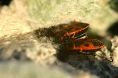 Macro shot. Cute bright red and black beetle. This is a wingless red bug or soldier's bug. royalty free stock photo