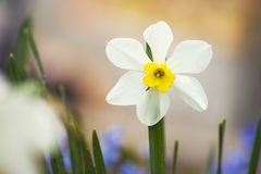 Macro shot of Daffodil/ yellow narcissus in the garden Royalty Free Stock Image