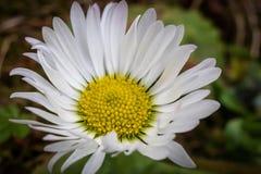 Macro shot of daisy flower or bellis perennis stock images