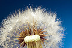 Macro shot of dandelion. Nature and flower concept Stock Image