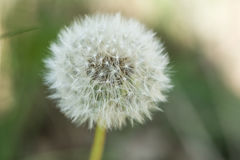 A macro shot of a dandelion. With blurred grass as background Royalty Free Stock Images