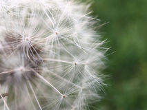 Macro shot from a Dandelion Royalty Free Stock Photos