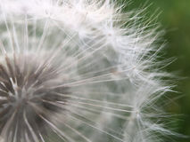 Macro shot from a Dandelion Stock Photos