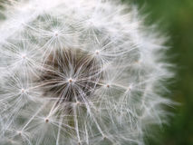 Macro shot from a Dandelion Stock Images