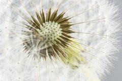 Macro shot of dandelion Stock Photos