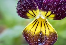 Macro Dew-covered Dark Purple Johnny Jump Up. Macro shot of a deep purple johnny jump up covered in perfect dew drops in a garden in springtime Royalty Free Stock Image