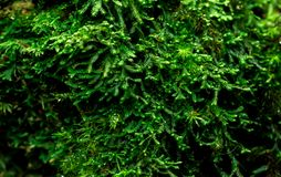 Mosses cover with dense on dead tree. Green environment, nature, ecology, biodiversity concept. Natural background. Macro shot detail of mosses cover with dense royalty free stock photo