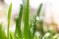 Macro shot of dew on fresh green grass at morning Stock Photos