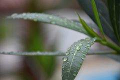 Drops of Water on green Leaves after Rain Royalty Free Stock Photo