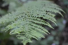 Macro shot of double pinnate leaf Royalty Free Stock Image