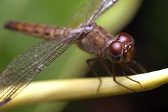 Macro shot of a dragonfly. Small insect Stock Images