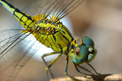Macro shot of a dragonfly Stock Photography