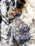 Macro shot of a dragonfly. Macro shot of head and eyes of a blue and grey dragon fly Stock Image