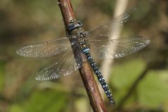 Macro shot of a dragonfly migrant hawker royalty free stock images