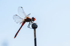 Macro shot of a dragonfly perched on a stick. Macro shot of a rust-colored dragonfly perched on a stick Royalty Free Stock Photo