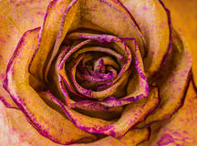 Macro shot of dried rose. With petals Royalty Free Stock Photo