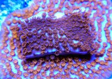 Red white and blue montipora stony coral stock images