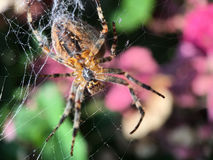 Macro shot from a European garden spider in his web. In The Netherlands Stock Photos