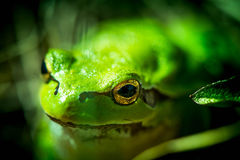 Macro shot of a European tree frog Stock Image