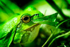 Macro shot of a European tree frog Royalty Free Stock Photos