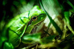 Macro shot of a European tree frog Stock Photos
