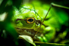 Macro shot of a European tree frog Royalty Free Stock Image