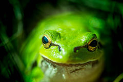 Macro shot of a European tree frog Stock Photography